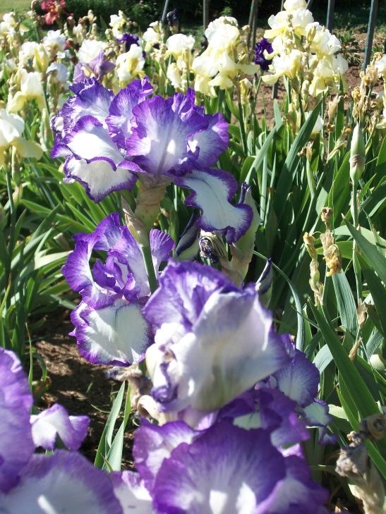 irises, colorado garden