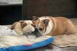 bulldogs, bulldog stuffed animal, Budapest