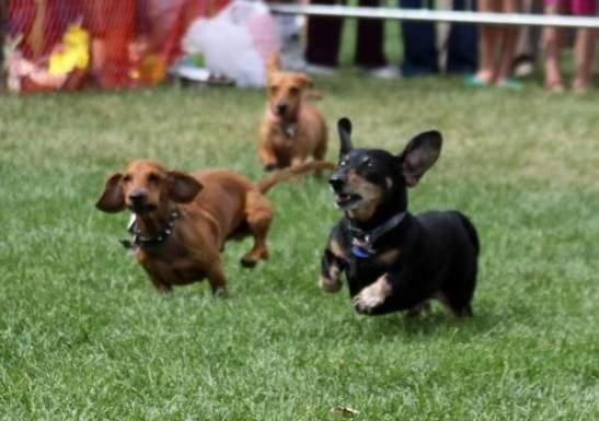 weiner dog races, Colorado, daschunds