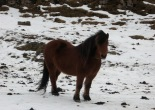 wild pony, Iceland, travel