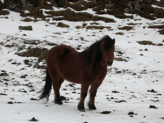 wild pony, Iceland, travel