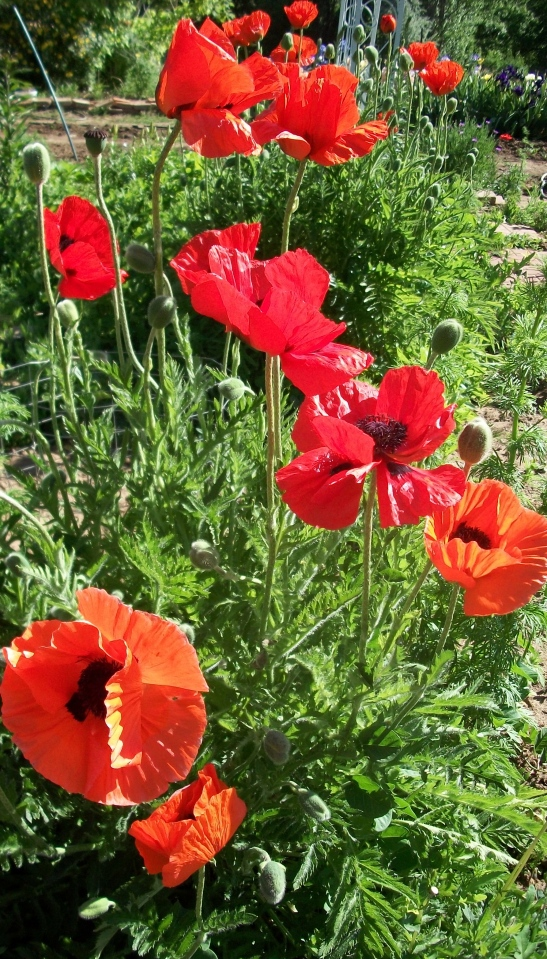 Mom's poppies.